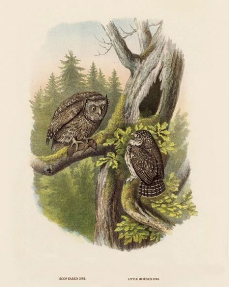 Fine Art Print of the Scop Eared Owl and Little Horned Owl by O V Riesenthal (1876)